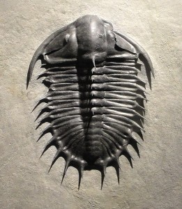 Olenoides superbus, Late Middle Cambrian, Upper Marjum Formation, House Range, Millard County, Utah, USA - Houston Museum of Natural Science