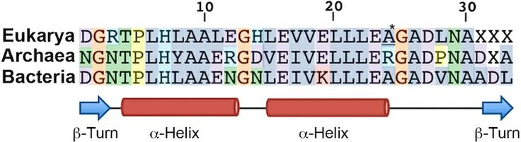 ANK repeat consensus sequence across all domains of life