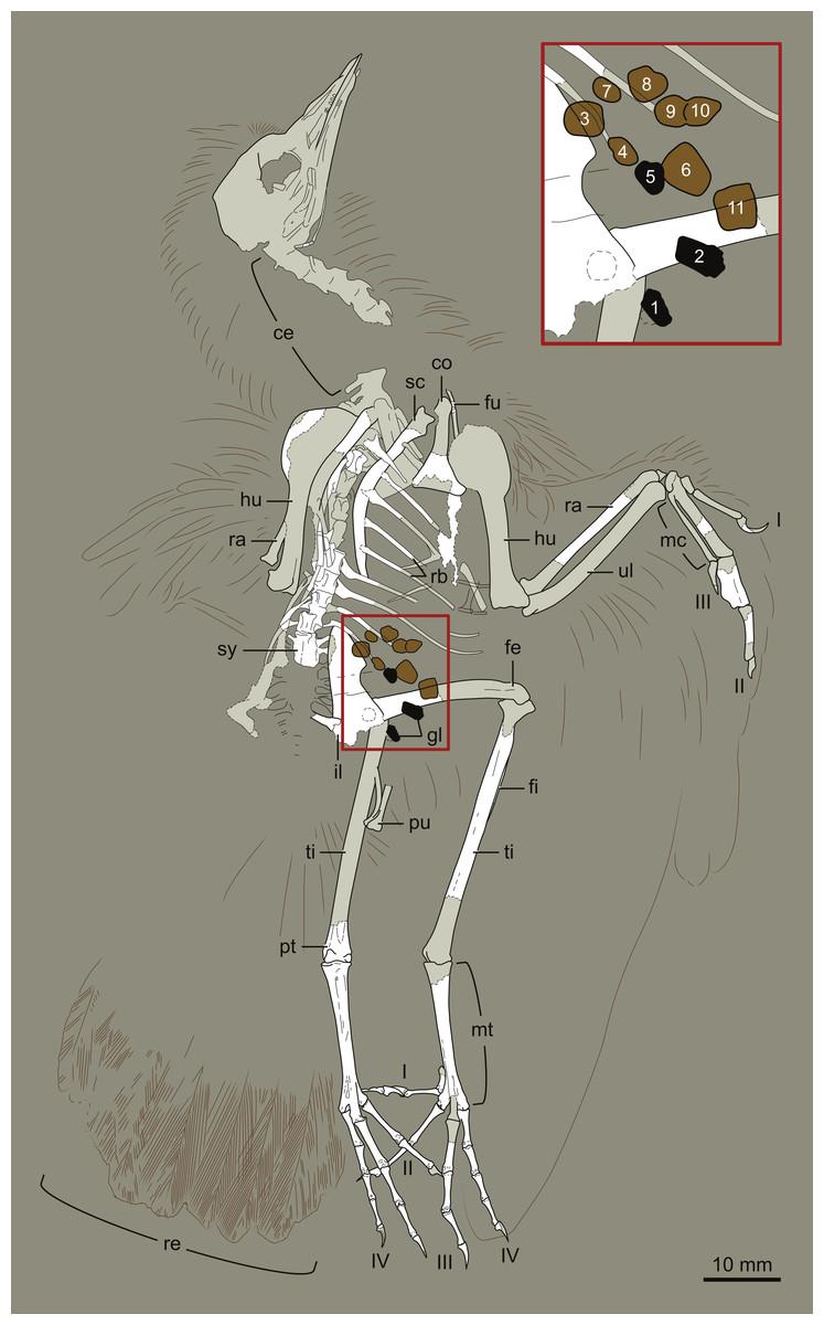 Interpretive drawing of DNHM D2945 Hongshanornis longicresta