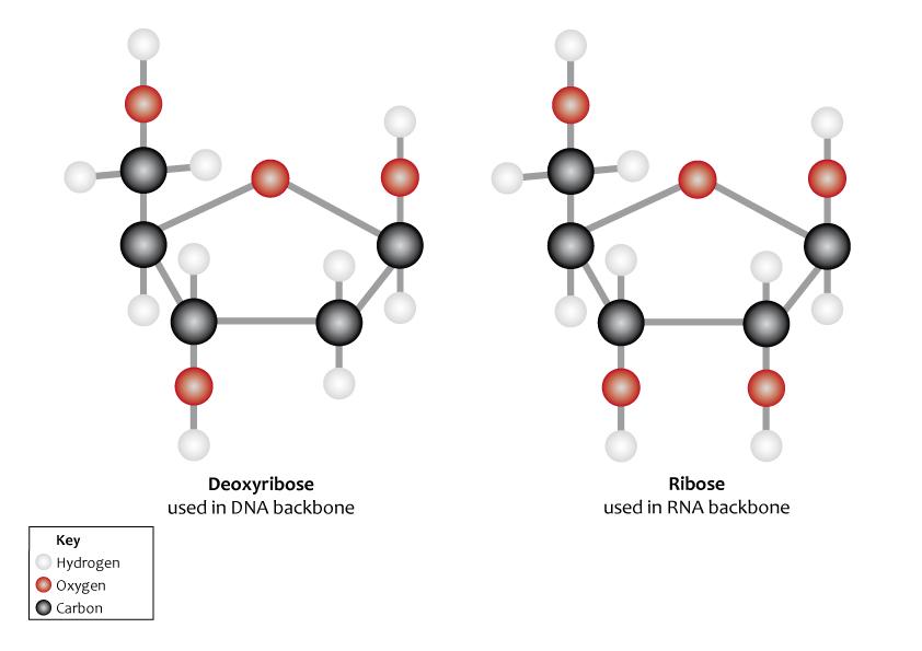 D2Deoxyribose  C5H10O4  ChemSpider